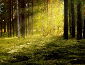 sunbeams through forest amid ferns