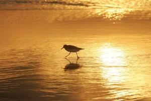 Shorebird at sunrise walking along water's edge